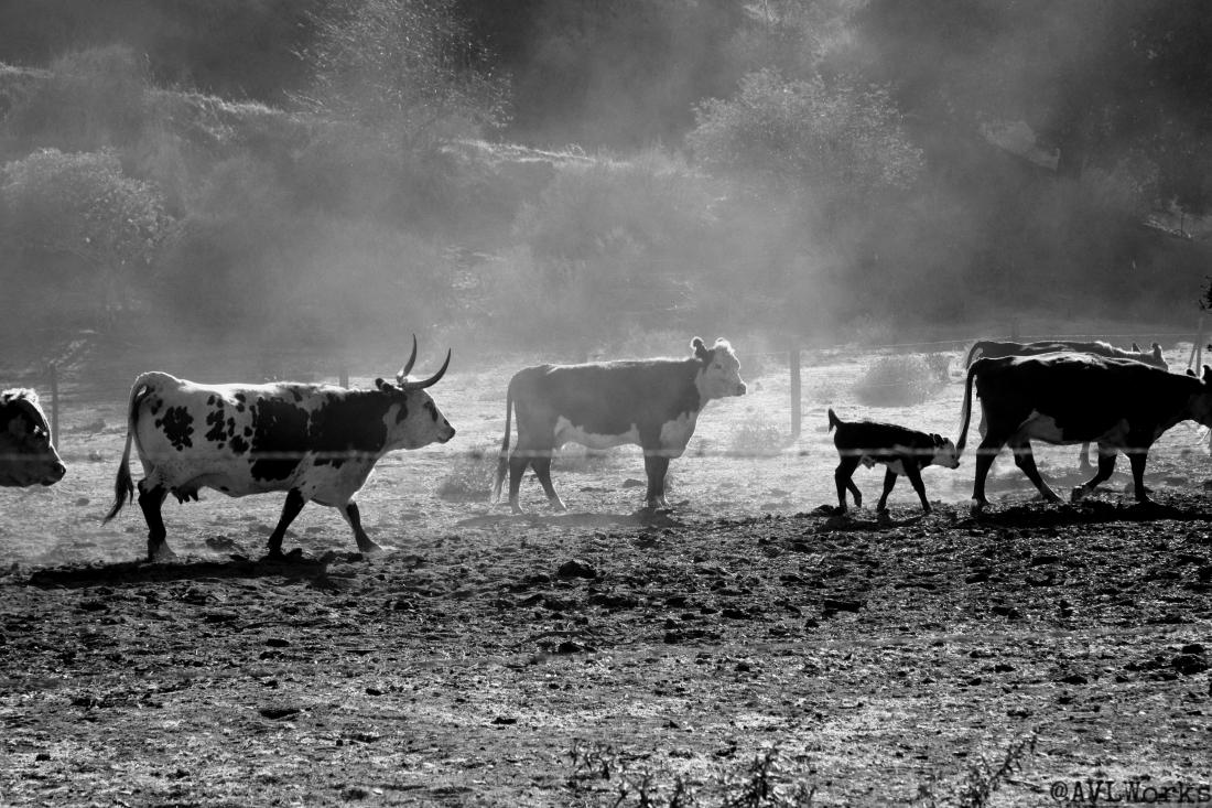 CattleRun